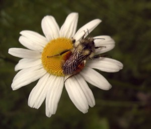 A bee grabs some nectar from a daisy (Photo: quas Via Creative Commons @ Flickr)
