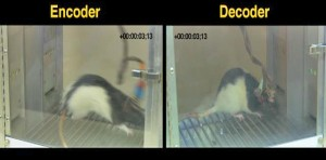 Screen capture of a video demonstrating behavior of the encoder rat (left) transmitting brain waves to the decoder rat (right) who is receiving the information with an electronic device (Photo: Duke University)