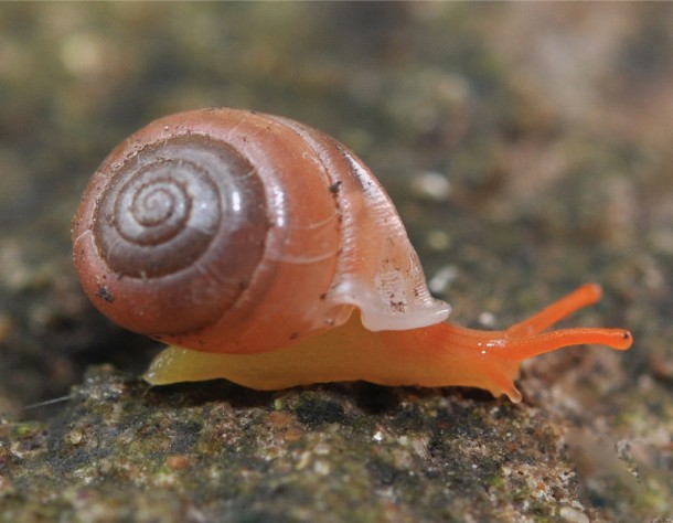 This image shows the beautiful bright orange-colored Perrottetia dermapyrrhosa, one of the three new species of the snail that were recently found in Thailand. (Somsak Panha)