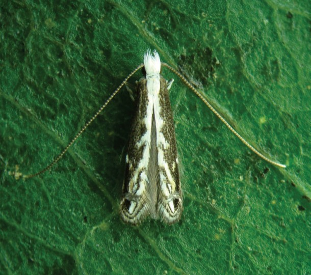A new species of an insect called the leaf miner was recently discovered in the depths of the Brazilian jungle. (Gilson R.P. Moreira)