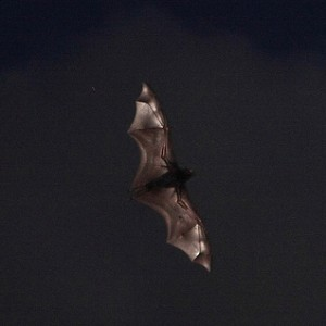 Bats use echolocation to navigate in the dark when hunting prey (Steve Garner via Creative Commons/Flickr)
