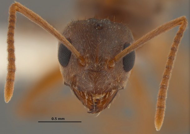 "Close up of a 'tawny crazy ant' or 'raspberry crazy ant' an invasive species that has become so ""ecologically dominant"" that its even driving vicious fire ants from their homes. (Joe MacGown, Mississippi Entomological Museum)"