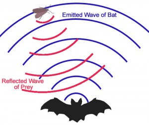 Illustration of how a bat uses echolocation to find prey (Shung via Wikimedia Commons)