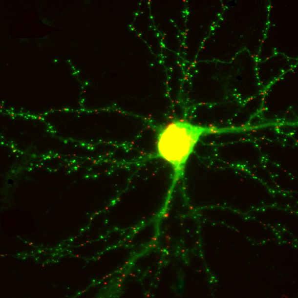 This is a living brain neuron in culture. A team of scientists from the University of Southern California has developed a way to see where and how memories are made by engineering microscopic probes that light up synapses in a living neuron in real time by attaching fluorescent markers onto synaptic proteins – all without affecting the neuron's ability to function.  (Don Arnold)
