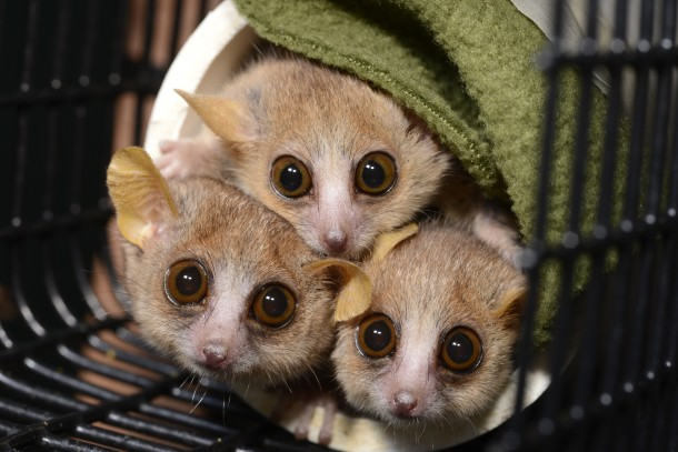 Three mouse lemurs (Microcebus murinus) peer cautiously from their nesting tube at the sound of an approaching technician who might just be carrying snacks.  Researchers from the Duke Lemur Center recently conducted personality research that found some of mouse lemurs are shy, while others were actually bold. (David Haring, Duke Lemur Center)