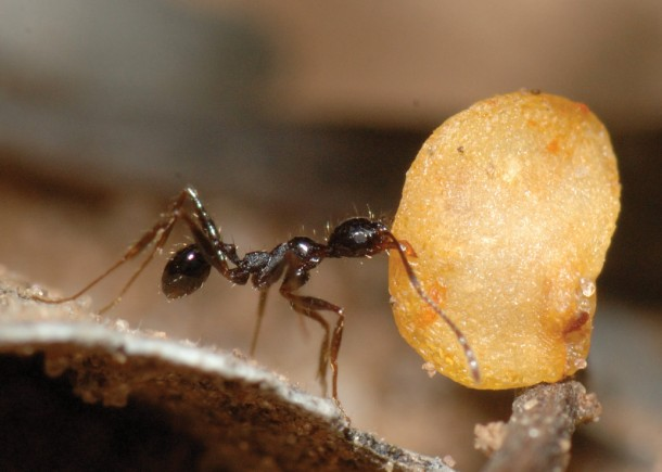 We all how know just how industrious an ant can be. Here's one carrying a wild chili pepper seed.  (Thomas Carlo)