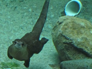 An otter swims underwater the Detroit, Michigan Zoo (Ellen Meiselman via Flickr/Creative Commons)