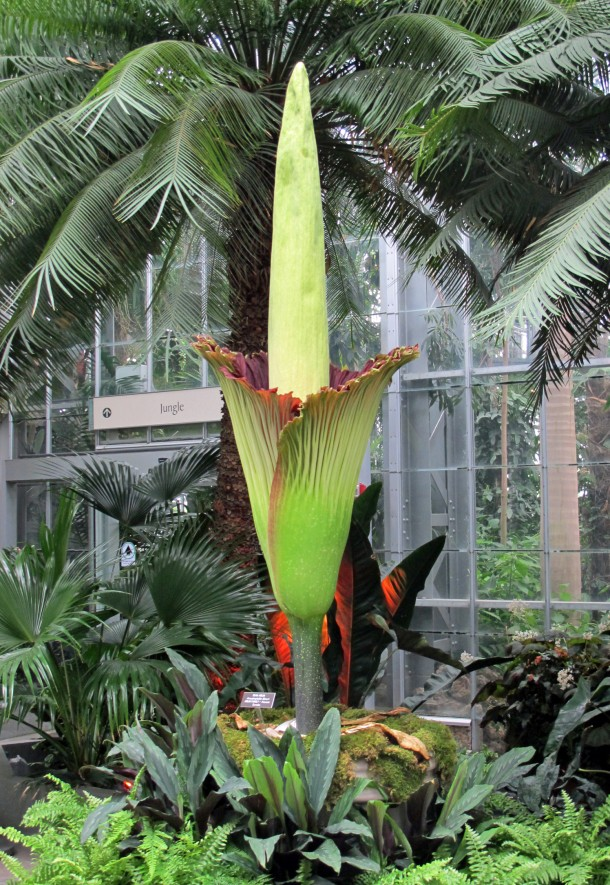 A rare glimpse of the titan arum (Amorphophallus titanum), also known as the corpse flower or stinky plant as it bloomed this week at the United States Botanic Garden Conservatory in Washington. The photo shows the plant as it began to open on Sunday, July 21. It started to close on Monday evening, July 22; and collapsed Wednesday evening, July 24. The flower, which requiresd very special conditions, doesn't bloom annually. In fact, the time between flowering is unpredictable, which can span from a few years to a few decades. (AP)