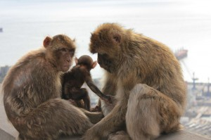 A family of Barbary macaques in Gibraltar (Harry Mitchell via Wikimedia Commons)