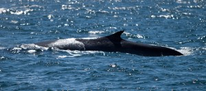 Fin whale (Ulrich Zink via Wikimedia Commons)