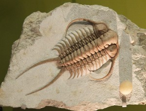 Fossil of a Trilobite - Cheirurus ingricus - from the early Cambrian period (Tim Evanson/Creative Commons via Flickr)