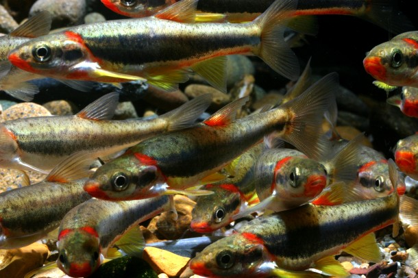 A school of a small minnow-like fish called Blackside dace.  Scientists believe that hydraulic fracturing fluids are believed to be the cause of the widespread death or distress of this aquatic species that is only found in parts of Tennessee, Kentucky, and western Virginia. (J. R. Shute , Conservation Fisheries, Inc.)