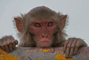Experiments were conducted on rhesus macaque monkeys, such as the one in this picture taken at Kinnerasani Wildlife Sanctuary, Andhra Pradesh, India. (J.M. Garg/Wikimedia Commons)