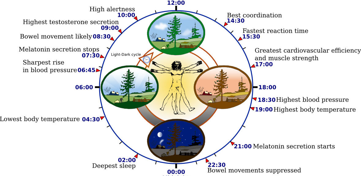 This diagram depicts the circadian patterns typical of someone who rises early in morning, eats lunch around noon, and sleeps at night (10 p.m.). (Yassine Mrabet via Wikimedia Commons)