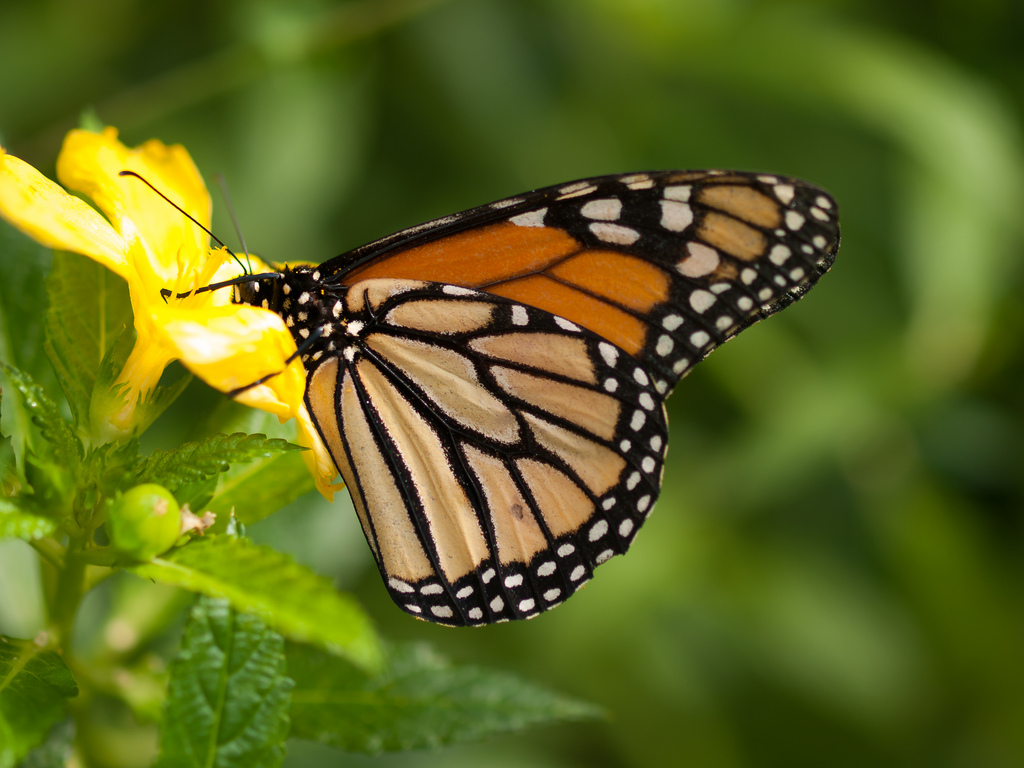 Spring Flower Monarch Butterfly Mexico Migration Hits All Time Low