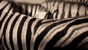 An up close look at a zebra's unique stripe covered coat. (William Warby via Flickr/Creative Commons)
