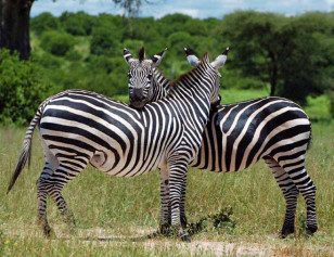 A pair of zebras in Tanzania's Ruaha National Park (Paul Shaffner via Wikimedia Commons)