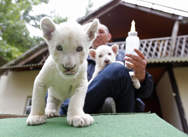 Tibor Toth, owner of a zoo in Abony, Hungary, just east of Budapest, is shown here feeding a couple of cute 7-week-old white lion cubs on May 30, 2014. (Reuters)