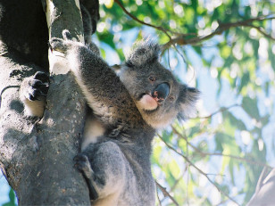 A koala keeping cool in a tree (Cody Pop via Wikimedia Commons)
