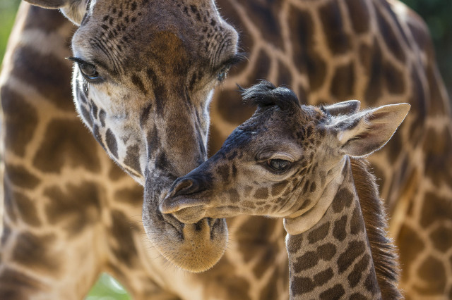 Harriet, a Masai giraffe, is shown here taking care of her four-day-old calf at the San Diego Zoo on June 19, 2014. The male calf, born on June 16, already stands almost 2 meters tall and weighs over 66 kilograms. The calf's father, not shown, named Silver, the giraffe herd's sire. (AP)