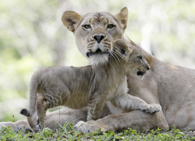 A lion cub cuddles with its mom, the 4½-year-old Kashifa, at the Zoo Miami in Florida, during the family's introduction on Thursday, June 5, 2014. Along with the cub seen here, Kashifa's family also includes 4 more cubs. (AP)