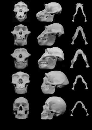 Skull reconstructions comparing chimpanzees with four hominins (University of Utah/Skulls Unlimited)