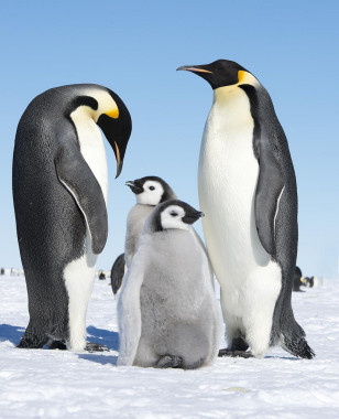 Emperor penguin family (Christopher Michel - Creative Commons via Flickr)