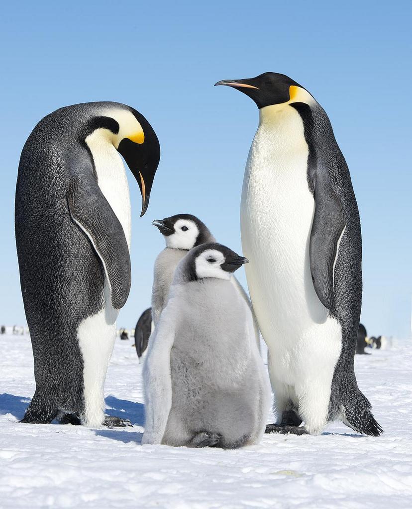 penguin - photo #13