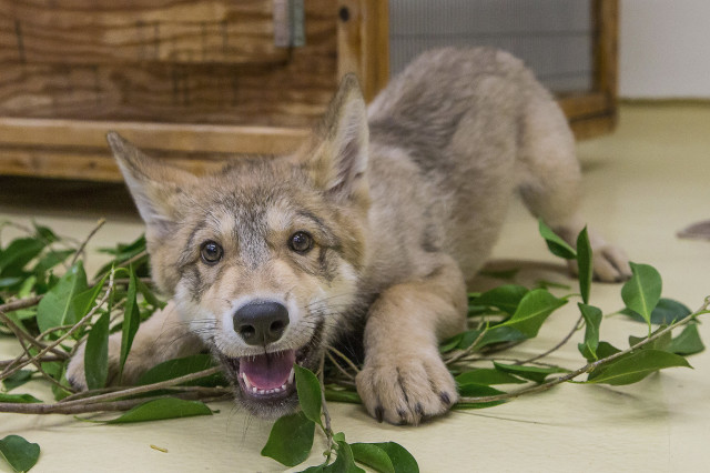 Shadow, a two-month-old grey wolf pup, is seen here playing and rolling around in some ficus twigs that some keepers at California's San Diego Zoo laid out for him.  Shadow's caretakers are helping to familiarize him with various smells and sights during a 30-day quarantine process.  Once Shadow completes the quarantine period, he'll serve as an animal ambassador during educational presentations. (AP)