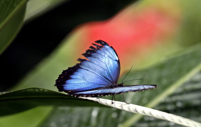 A beautiful Blue Morpho butterfly is shown here resting on the greenery at the Museum of Life and Science's Magic Wings Butterfly House in Durham, N.C., Tuesday on July 1, 2014. (AP)