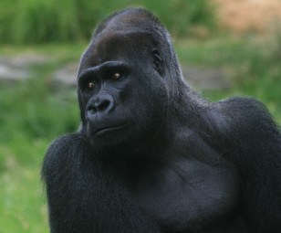 Male silverback gorilla (Brocken Inaglory via Wikimedia Commons)