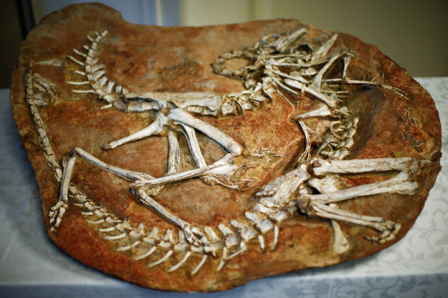 Two Gallimimus dinosaur skeletons were put on display on at the United States Attorney's Office of Southern District in New York on July 10, 2014. American authorities agreed to return the remains of 18 dinosaurs to Mongolia after an investigation revealed that they had been smuggled into the US. (Reuters)