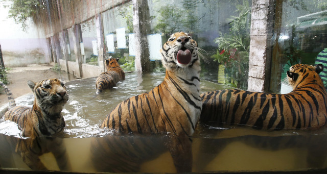 A group of Bengal tigers are having a good time playing in a pool of water at the zoo in the city of Malabon in the Philippines on July 11, 2014. (Reuters)