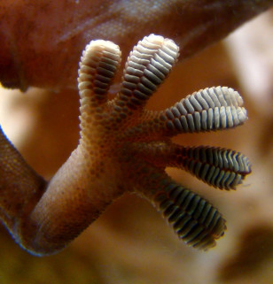 Close-up of the underside of a gecko's foot as it walks on a glass wall. Van der Waals force interactions between the finely divided setae (hairs on the toes) and the glass enables the gecko to stay in place and walk on the seemingly smooth glass. (Bjørn Christian Tørrissen via Wikimedia Commons)