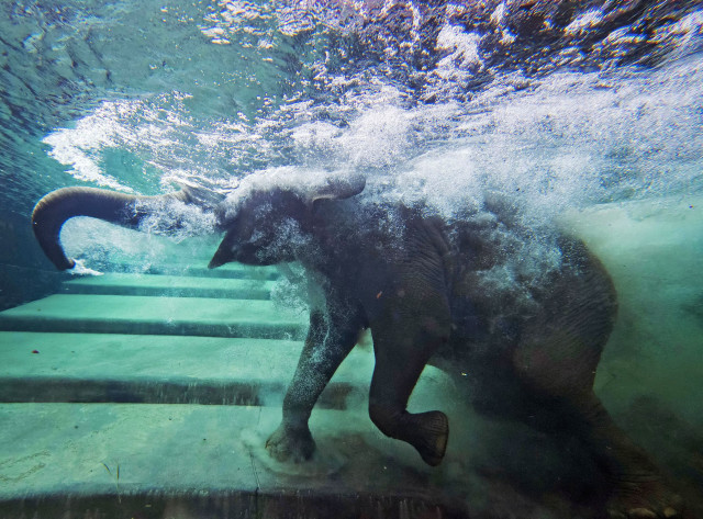 An elephant takes a dip in the indoor pachyderm pool located at the Zoo in Leipzig, Germany, August 5, 2014. (AP)