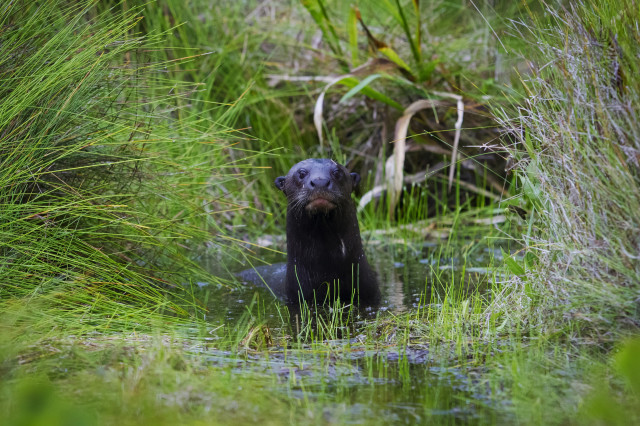 In a photo released on July 28, 2014, a Giant Otter is seen here posing in a lagoon at the Manu National Park in Peru's southern Amazon region of Madre de Dios. The 1.8 million hectare reserve is the largest National Park in Peru and has one of the highest levels of biodiversity of any park in the world. (Reuters)