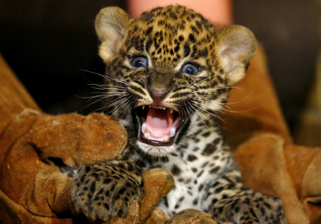 A female Sri Lankan baby leopard, born July 1, 2014 in a zoo located in Maubeuge, France was shown to the public on August 12, 2014. The International Union for Conservation of Nature currently has the Sri Lankan leopard listed as an endangered animal species. (Reuters)