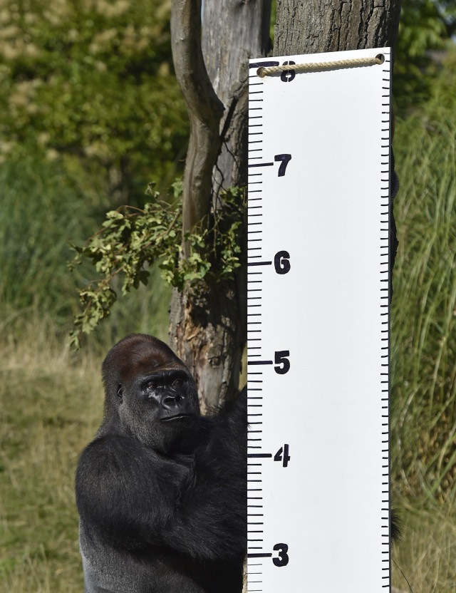 Meet Kimbuka, a western lowland gorilla.  Kimbuka is shown here standing by a height chart that was placed in his enclosure at London Zoo in London August 21, 2014. The zoo is conducting its annual weigh-in which includes waist and height measurements so that the caretakers can keep track of the general wellbeing of the animals.  The weigh-in is also used to help discover possible pregnancies of endangered species as part of the Zoo's international breeding programs. (Reuters)