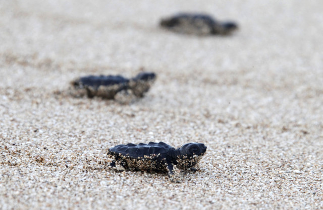 Baby sea turtles crawl to the sea after they were released near Tyre, Lebanon on August 28, 2014 by members of the Orange House conservation project.   The Orange House Project's mission is to protect and conserve sea turtles in South Lebanon. (Reuters)