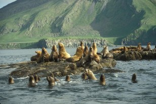 Sea lions (U.S. Fish and Wildlife Service)