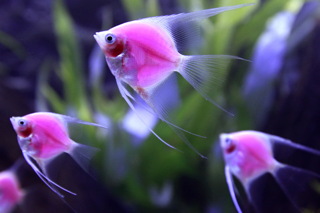 The colorful fish (Pterophyllum Scalare var.) glowing in this aquarium have been genetically-engineered.   The fish were on display from September 12th through September 15th at the 2014 Taiwan Aquarium Expo in Taipei September 12, 2014.  (Reuters)