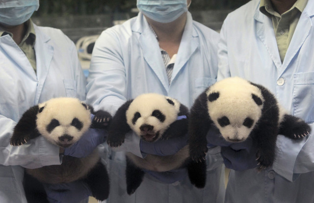 This set of giant panda triplets, were born recently with the help of artificial insemination at the Chimelong Safari Park in Guangzhou, Guangdong province.  The trio of baby pandas opened their eyes on September 19, 2014. (Reuters)