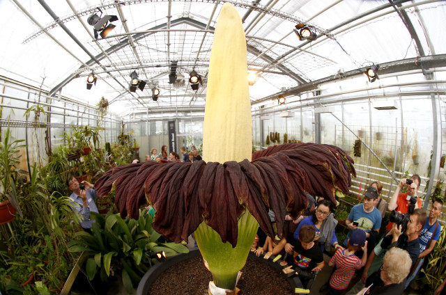 In a photo taken on September 29, 2014, this is the 'Corpse Flower' otherwise known as the Titan Arum (Amorphophallus titanum) in bloom at Switzerland's Botanical Garden at the University of Basel.  The Corpse Flower, one of the world's largest and rare tropical flowering plants, got its nickname from the incredibly strong and foul odor it emits.  After blooming for only a couple of days, the plant then wilts and dies. (Reuters)