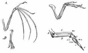 A graphic from 1885-1886 that illustrates evolution of limbs into wings (Wikimedia Commons)