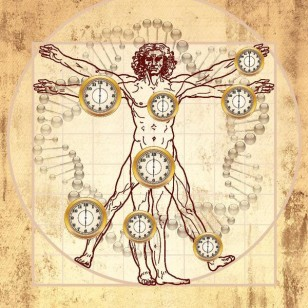 This figure overlays aging clocks on the Vitruvian man created by Leonardo da Vinci circa 1490. This diagram illustrates the epigenetic clock (also known as biological aging clock), which can be used to measure the age of different parts of the human body. (Steve Horvath via Wikimedia Commons)