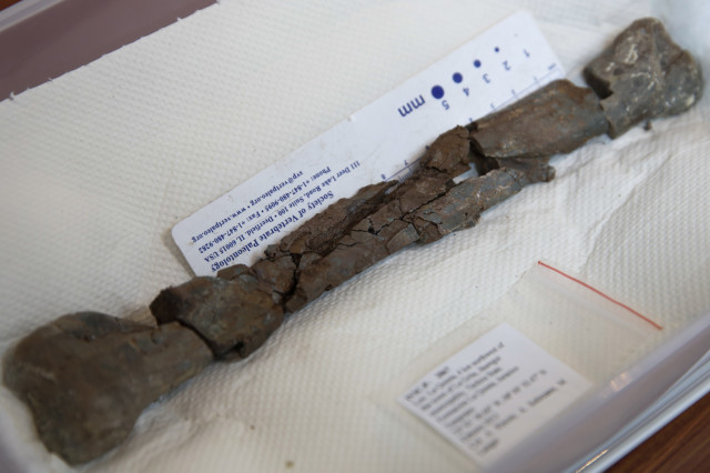 Fossilized fragments from the right tibia of a Tachiraptor admirabilis are seen during a news conference in Caracas