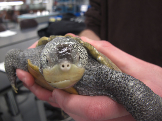 A student at the Marine Academy of Technology and Environmental Science, located in Manahawkin, NJ holds an adult diamondback terrapin turtle on 12/16/14. The students, who study and take care of the turtles at the school recently, mounted a successful campaign to get New Jersey state lawmakers to introduce a bill that would make it illegal to catch or take the turtles from the wild. (AP)