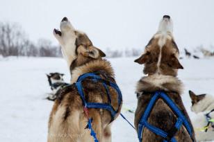Alaskan Huskies howling (Linda Martin/Creative Commons)