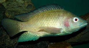 Scientists believe that the popular food fish Tilapia could produce an ideal dressing to treat wounds. (Bjørn Christian Tørrissen/Wikipedia Commons)