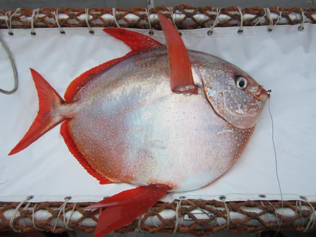 NOAA Fisheries announced on 5/15/15 that they found the first fully warm-blooded fish.  NOAA Fisheries scientists said that the opah or moonfish (seen here) is the first fully warm-blooded fish much like mammals and birds.  (NOAA Fisheries/Southwest Fisheries Science Center)
